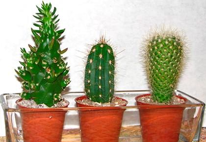 3 кактуса