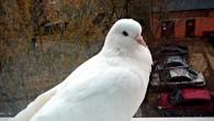 белый голубь на балконе