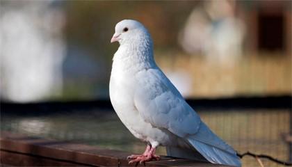 белый голубь на фонтане