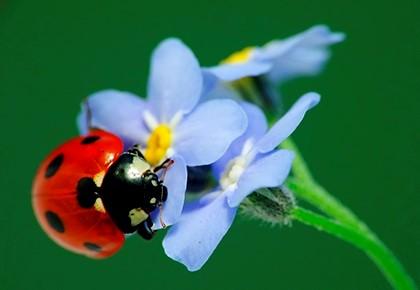 божья коровка на голубом цветке