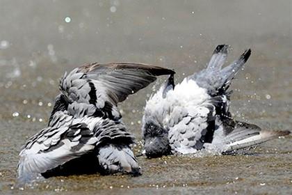 голуби купаются в луже