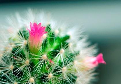 кактус цветёт