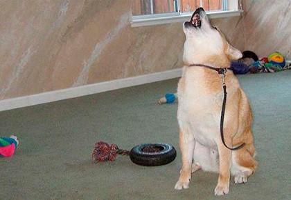 собака с ошейником воет