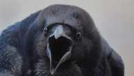 ворона каркает