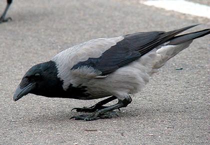 ворона на асфальте