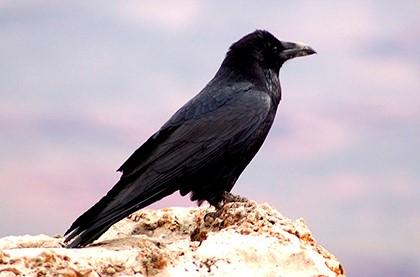 ворона на горе