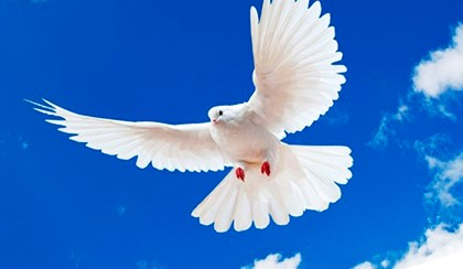 белый голубь в небе