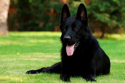 черная собака на траве