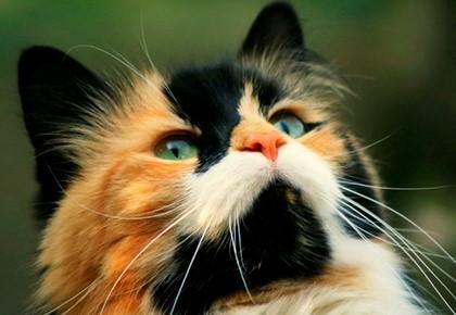 морда трёхцветной кошки