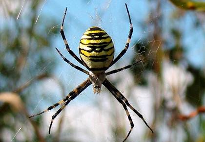 полосатый паук на паутине