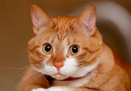 рыжий кот удивлён