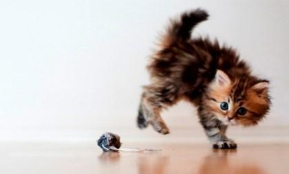 сибирский котёнок играет