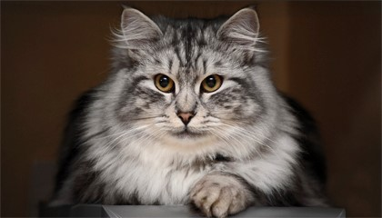 сибирский серый кот
