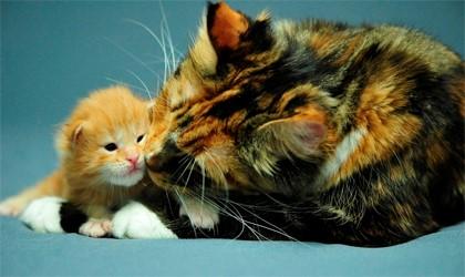 трёхцветная кошка с рыжим котёнком