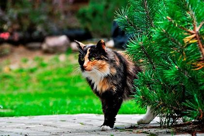 кошка за сосной