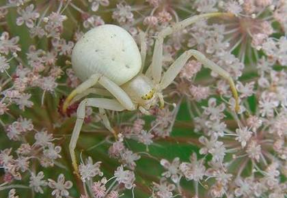 белый паук в цветах