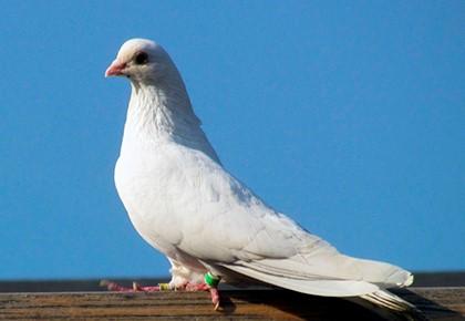 белый голубь с повязкой