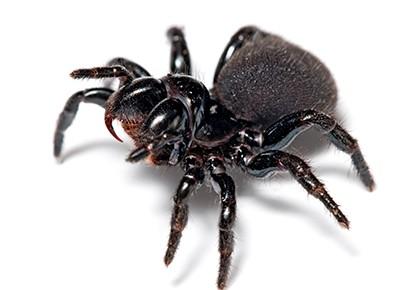 чёрный паук с клыками