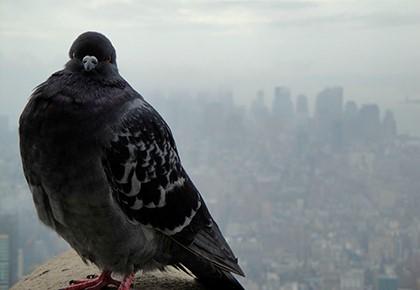 голубь на фоне города