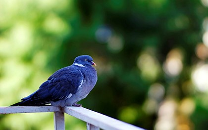 голубь на перилах