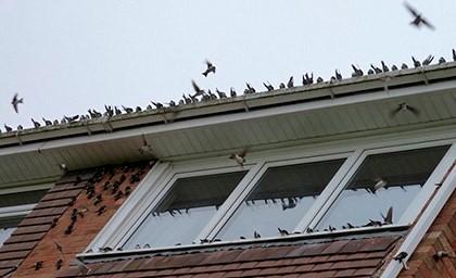 много птиц на доме