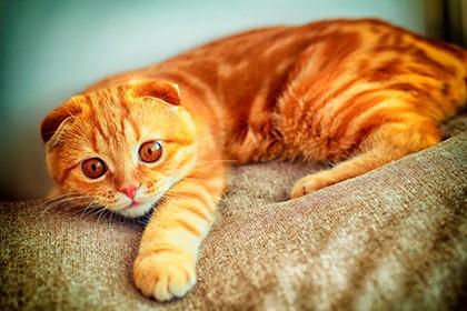 Про рыжих кошек