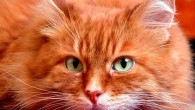 сибирский рыжий кот