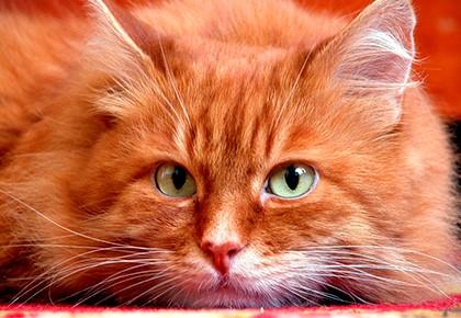 Народные приметы рыжий кот в доме
