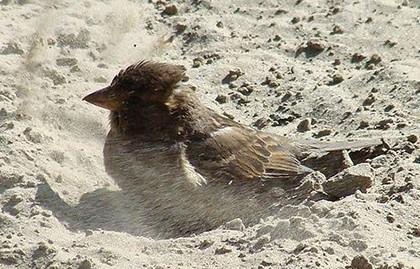 воробей купается в песке