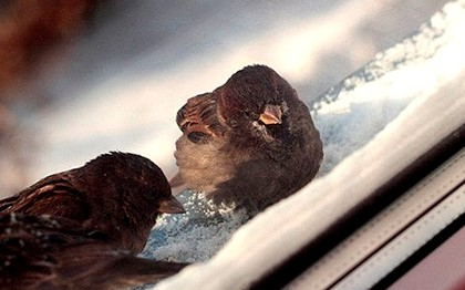 воробей на снежном откосе