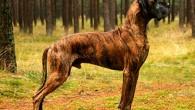 большая собака в лесу