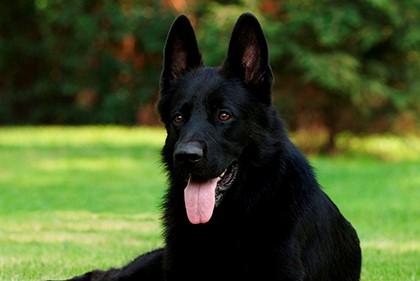 чёрный пёс слушает