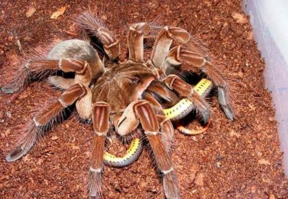 паук ест змею