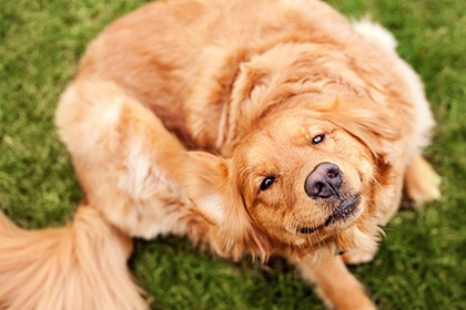 собака чешет за ухом