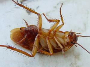 К чему снятся большие тараканы