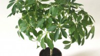Schefflera_arboricola (1)