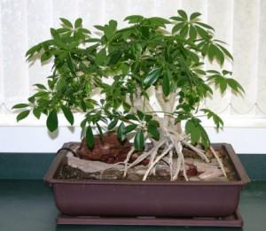 Schefflera_bonsai_1
