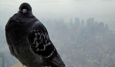 Если голубь прилетел на балкон