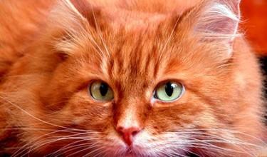 Приметы про рыжих кошек