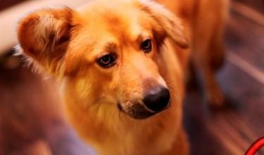 Приснилась рыжая собака?