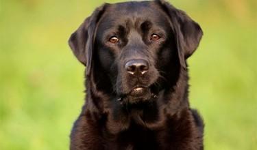 Сонники про чёрных собак