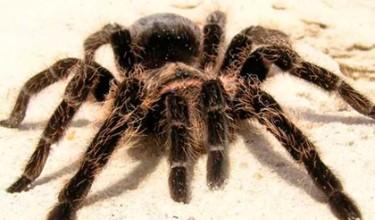 Сонники о больших пауках