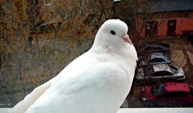 Приметы про белых голубей