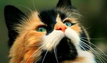 Приметы о трёхцветной кошке