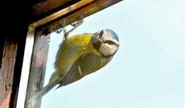 Птичка стучится в окно