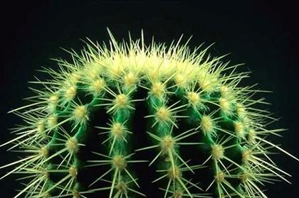 кактус