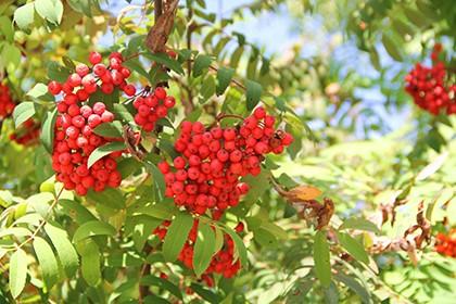 гроздья рябины