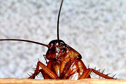 рыжий таракан с усами