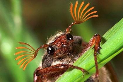 жук с ресницами