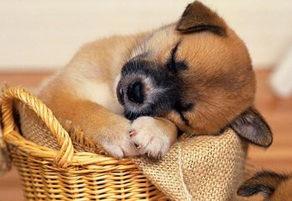 Фото Сонник собака ощенилась щенки